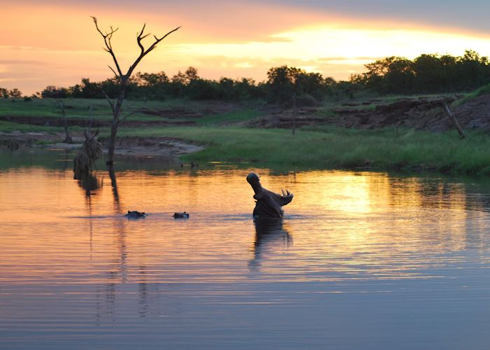 A male hippo showing his strength and size at sunset