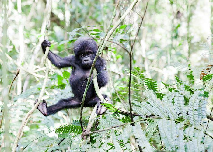Baby gorilla learning to climb
