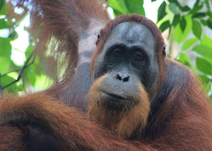 Male wild Orangutan near the Ecolodge, Bukit Lawang