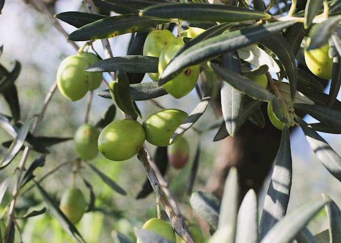 Green olives growing in Italy
