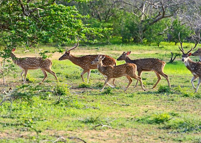 Spotted deer, Yala National Park