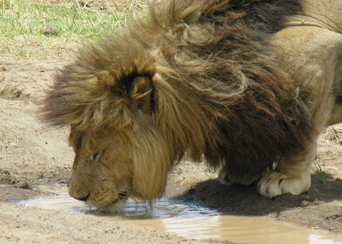 Male lion having a drink