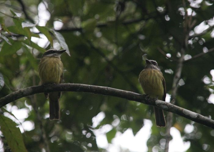 Golden crested fly catchers