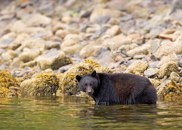 Black bear in water