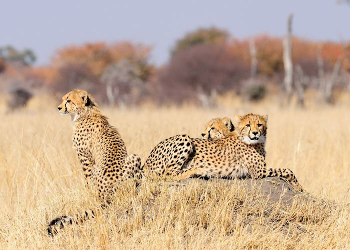 Cheetah Cubs in the Hwange National Park