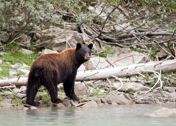 Black bear, British Columbia