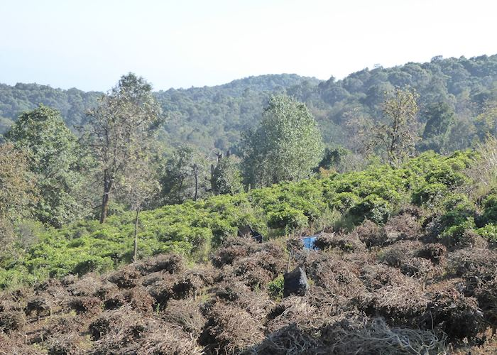 Tea plantations at Doi Pumuen