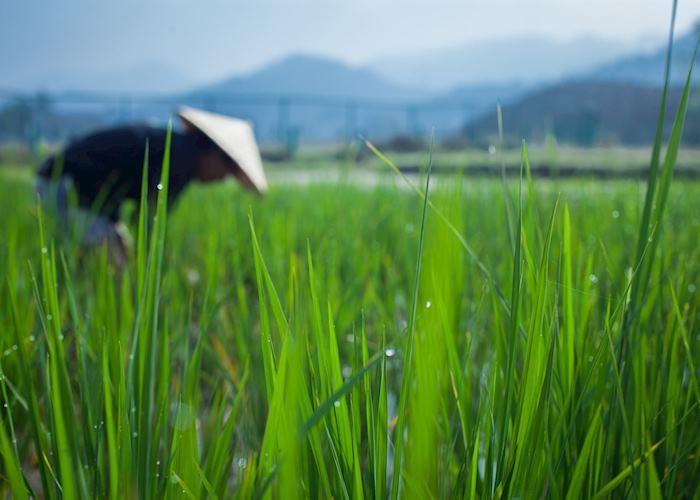Rice Farmer in Luang Prabang, Laos during Living Land Rice Experience