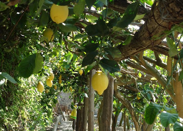 Lemon grove, Amalfi Coast
