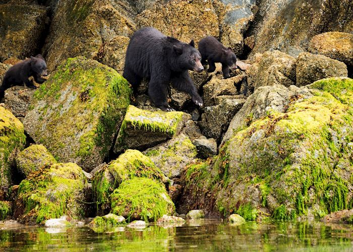 Black bear family, Tofino