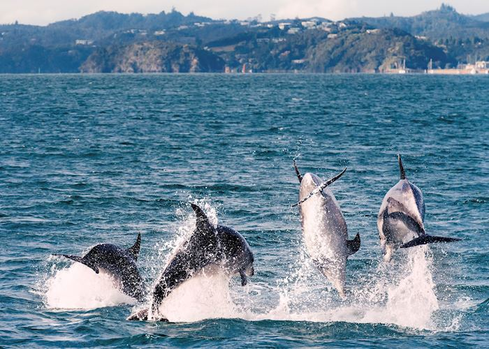 Dolphins in The Bay of Islands, New Zealand