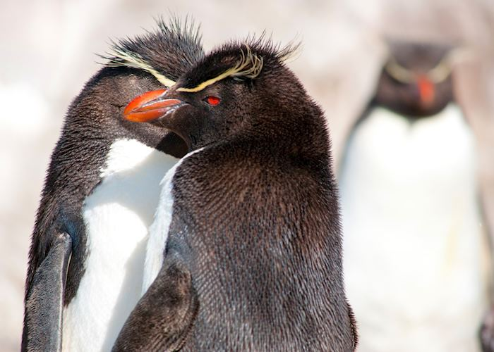 Rockhopper Penguins, Ushuaia