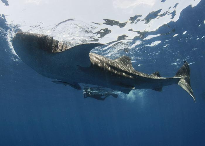 Whale Shark, Mexico
