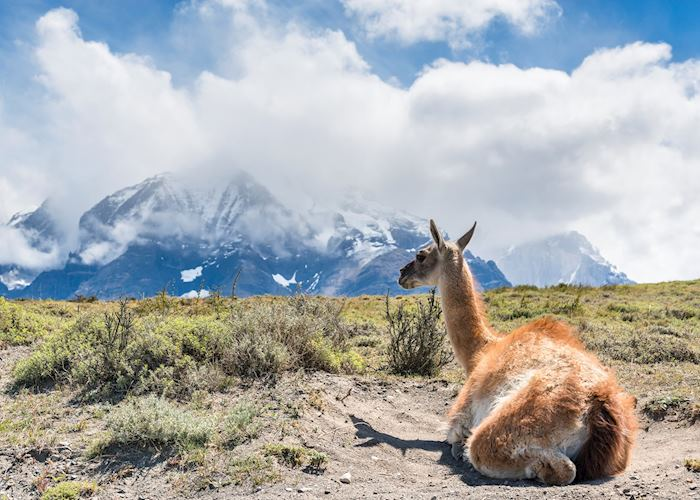 Vicuna - Puerto Natales, Chile
