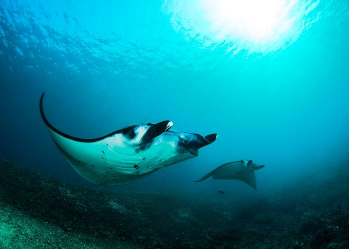Manta Rays off Komodo Island