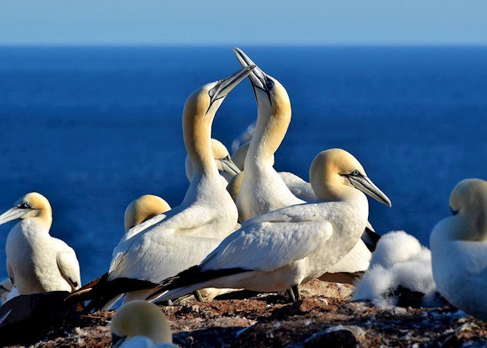Gannet colony, Bonaventure Island