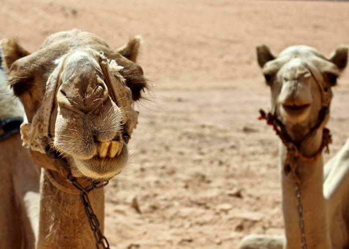Two camels rest together in the desert of Wadi Rum