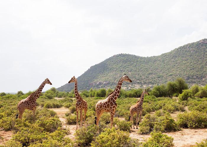 Reticulated giraffe, Samburu National Reserve