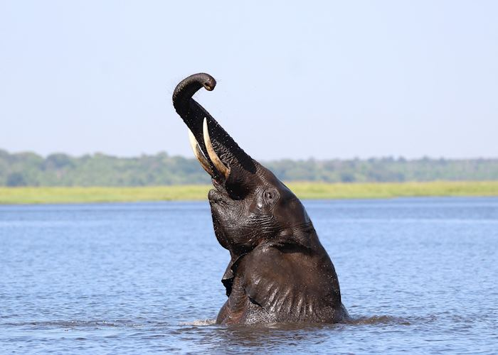 An elephant poses spectacularly in the Chobe River; Botswana