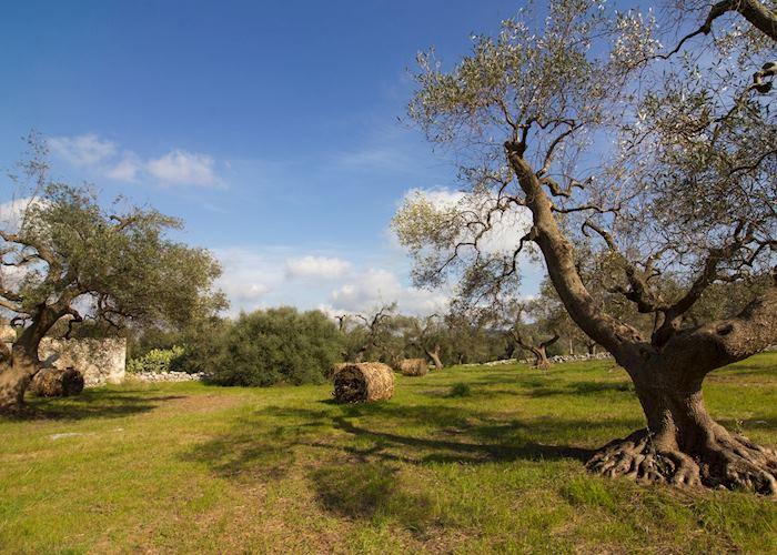 Olive trees, Fasano