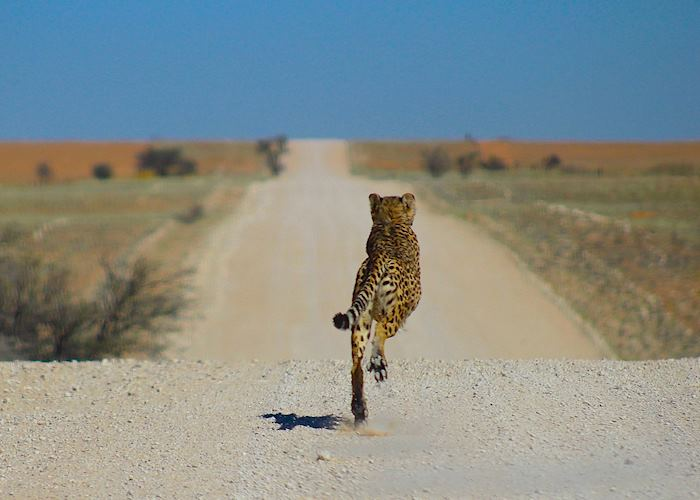 Cheetah are sometimes seen on the roads in Namibia