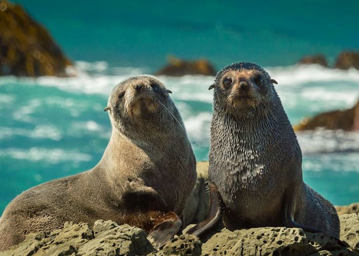 New Zealand fur seals, Kaikoura