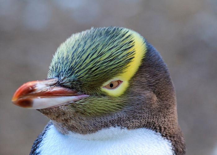 Yellow Eyed Penguin on the Otago Peninsula, Dunedin