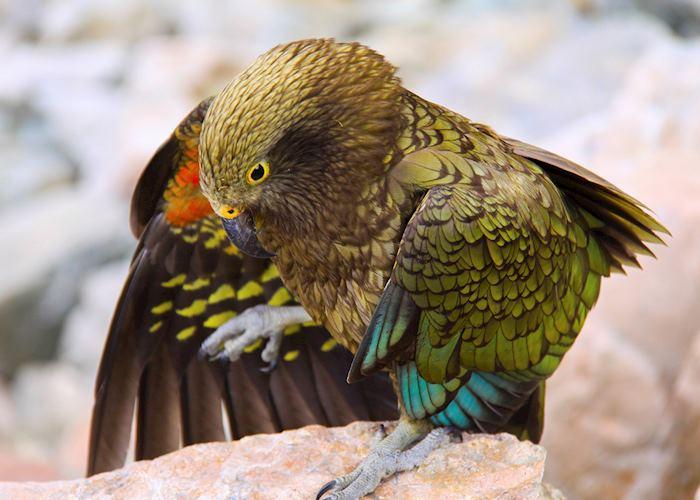 Kea, New Zealand