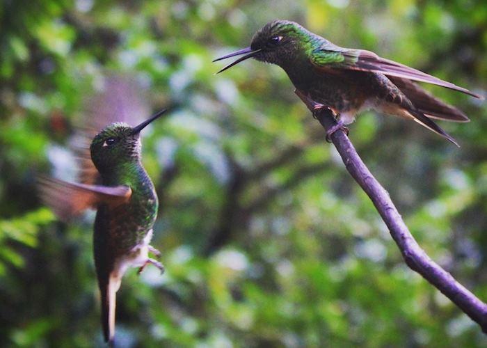 Cocora Valley hummingbirds