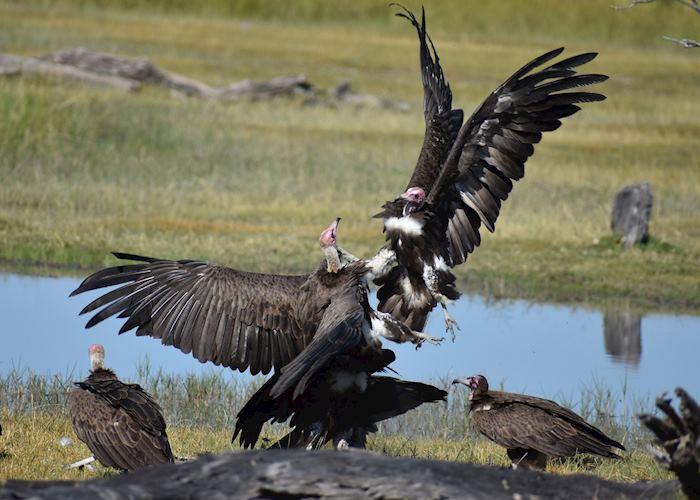 Vultures battling for scraps in the Moremi Game Reserve