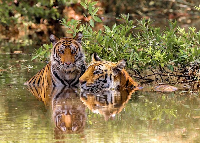 A mother tiger with her adolescent cub in Bandhavgarh National Park