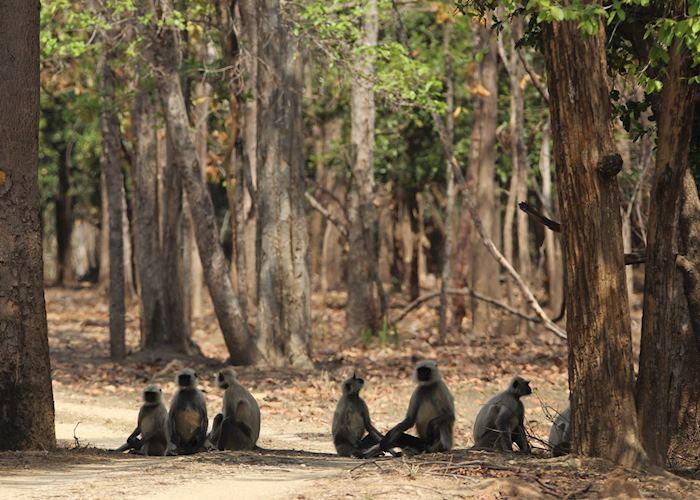 Langur monkeys, Pench National Park