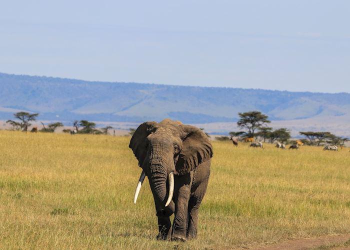 Lone bull elephant, Amboseli National Park