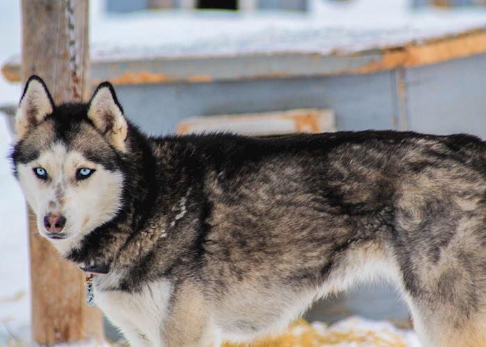 Dog Sled Husky, near Anchorage, Alaska