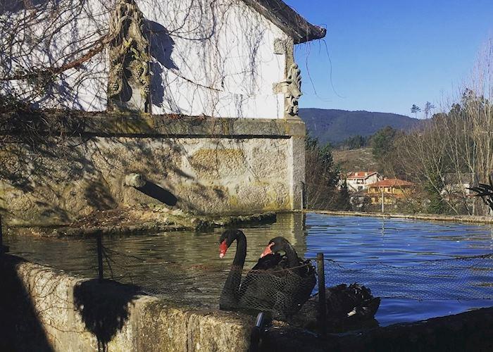 Black swans, Portugal