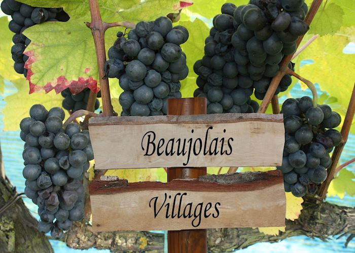 Beaujolais grapes, France
