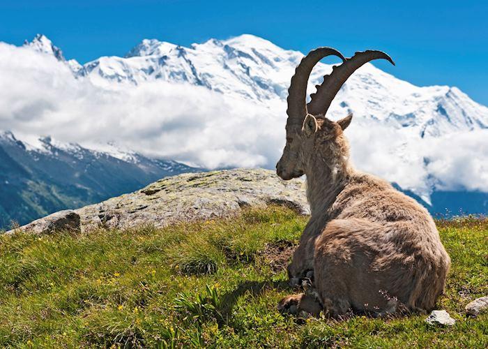 Mountain goat relaxing, Chamonix