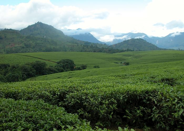 Lujeri Tea Estate, Thyolo Region