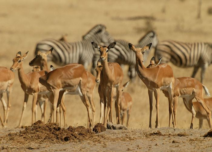 Impala & zebra in the Moremi Game Reserve