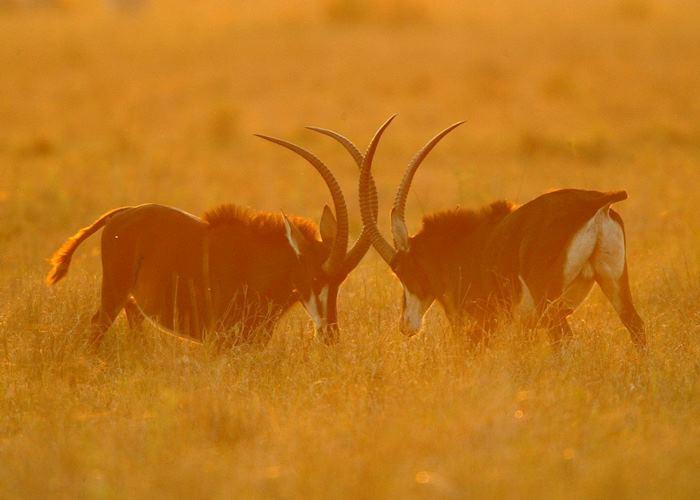 Sable antelope fighting