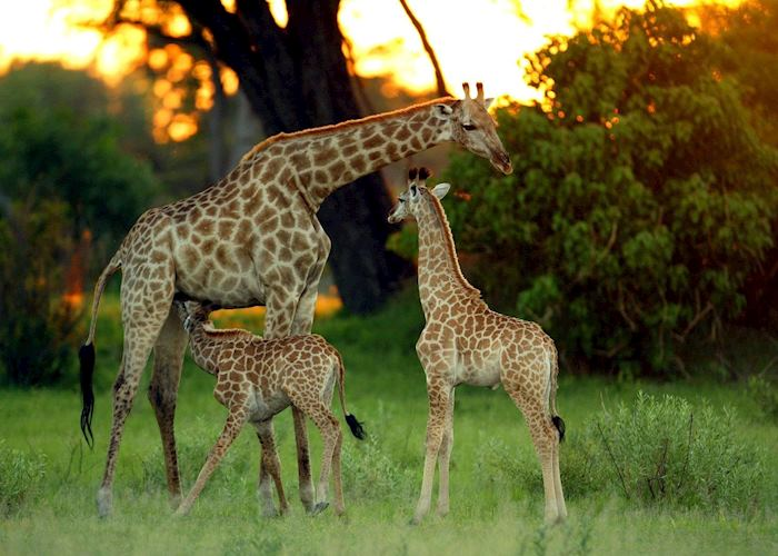 Giraffe with young