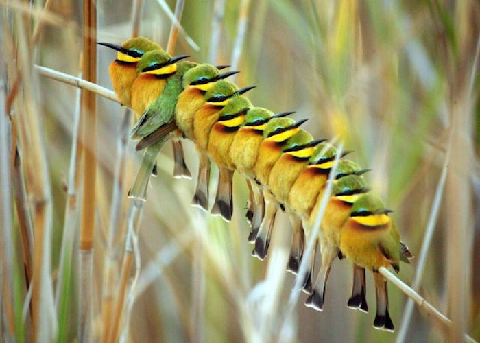 Little bee-eaters on papyrus