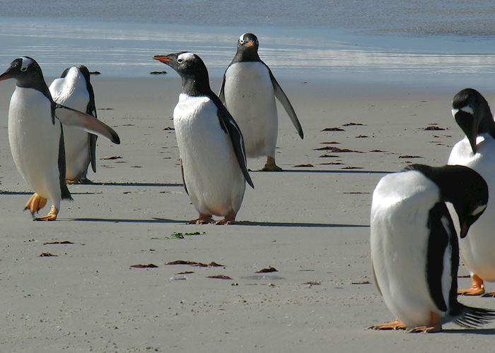 Gentoo Penguins, Pebble Island, The Falkland Islands