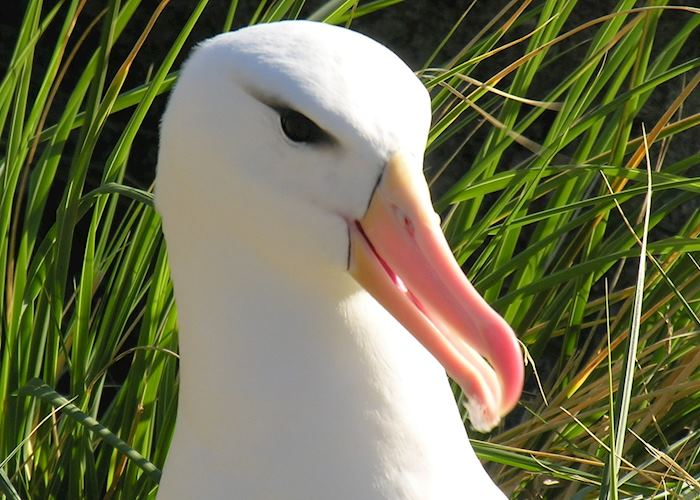 Black-browed albatross, West Point Island