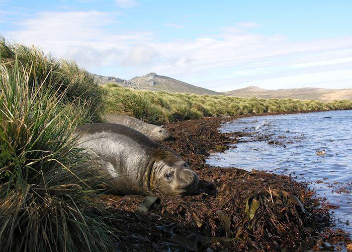 Elephant Seals, Carcass Island, The Falkland Islands