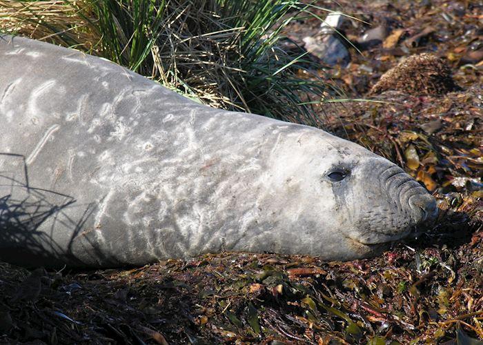 Elephant Seal, Carcass Island, The Falkland Islands
