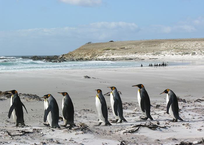 King Penguins at Volunteer Point