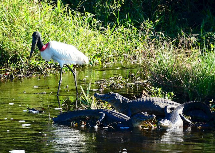 Jabiru Stork with lurking Caiman