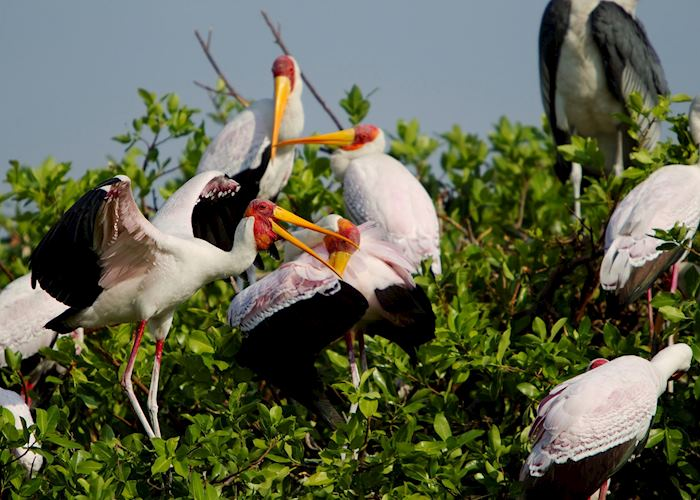 Storks in the heronry, Okavango Delta