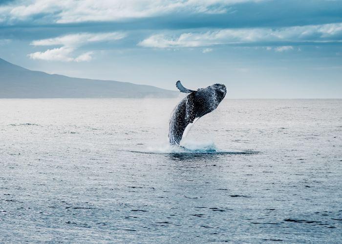 Humpback whale, Akureyri